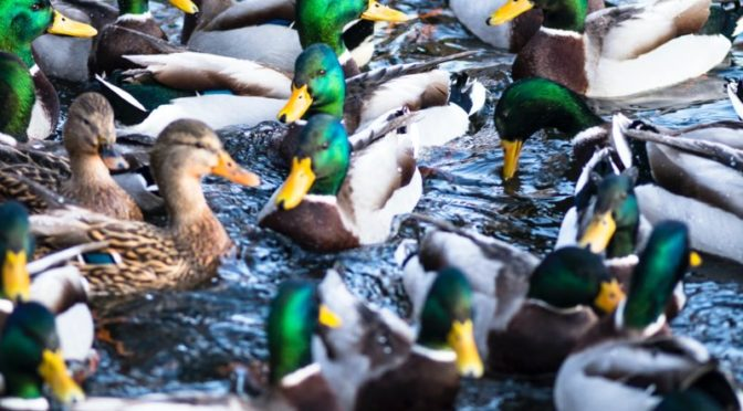 Photo of group of ducks on water