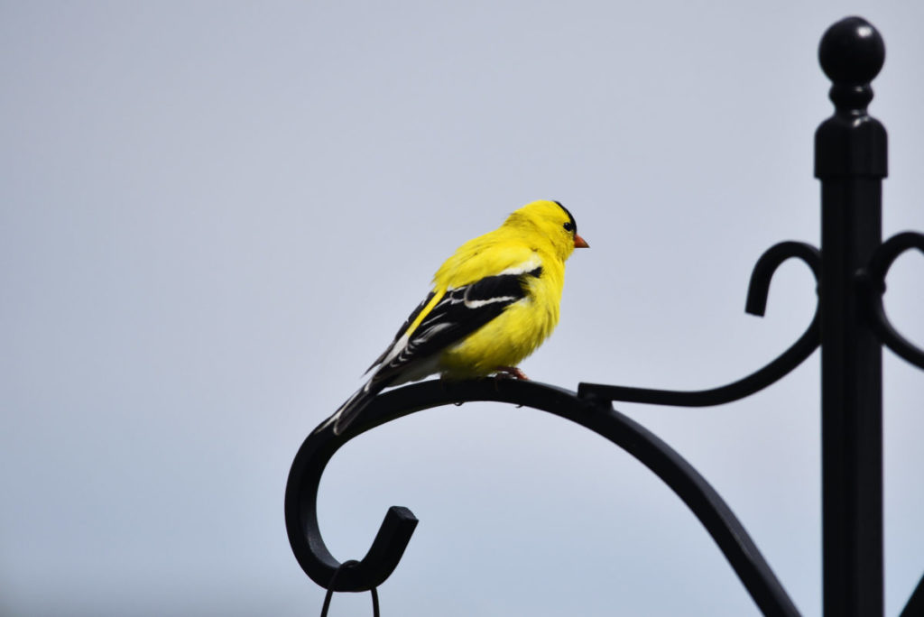 bright yellow goldfinch perched on an iron post