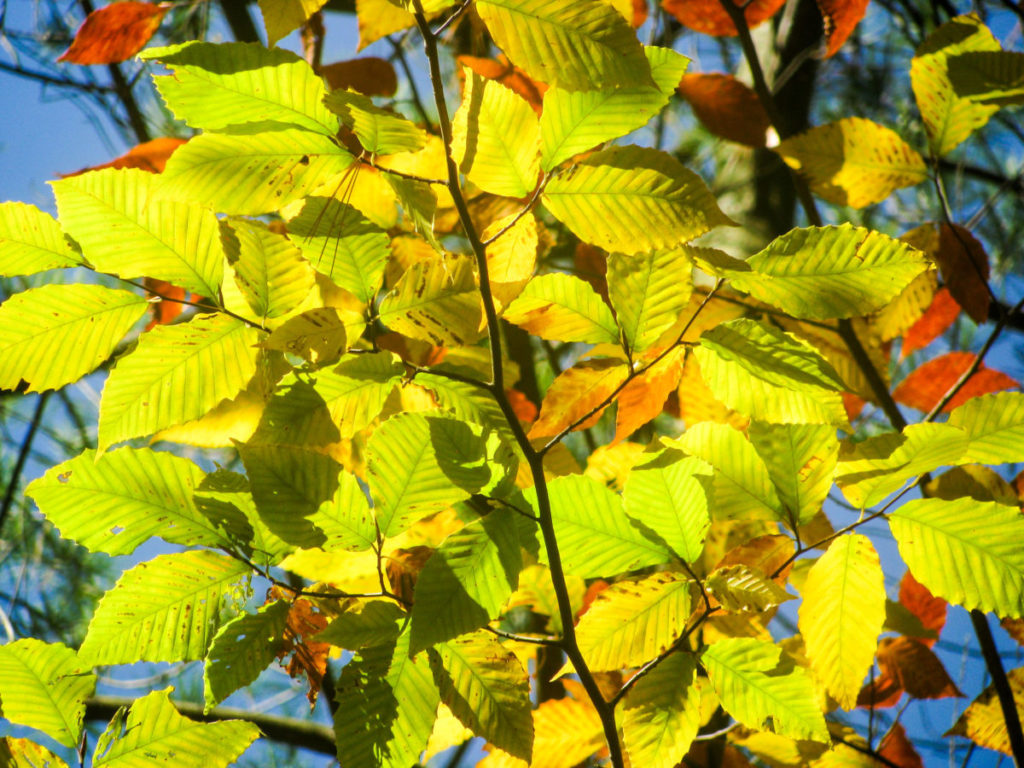red, light green tree leaves in bright sun