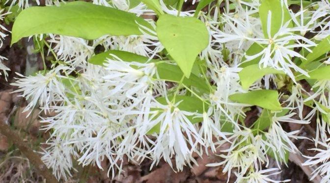 Photo of Fringe Tree
