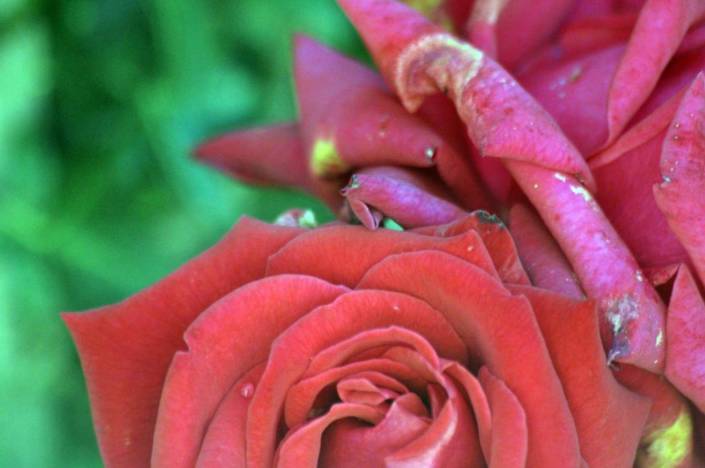 Photo of wilting rose