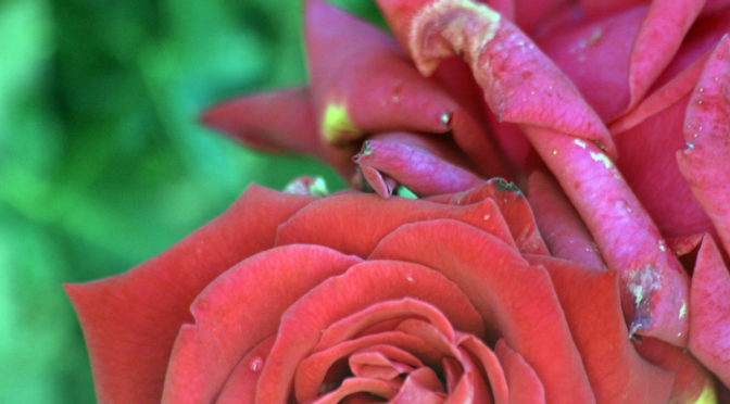 Photo of wilting rose