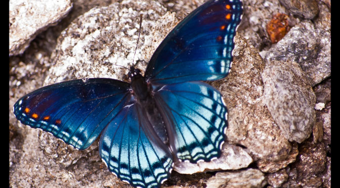 Photo of blue butterfly
