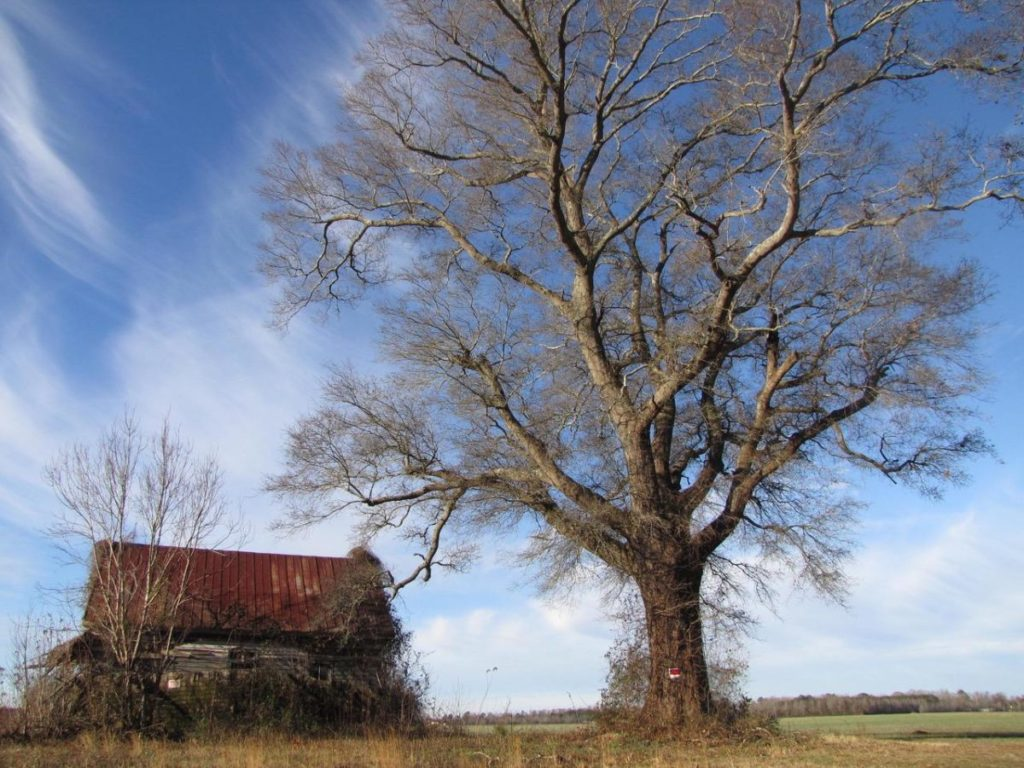 Photo of old barn and large tree