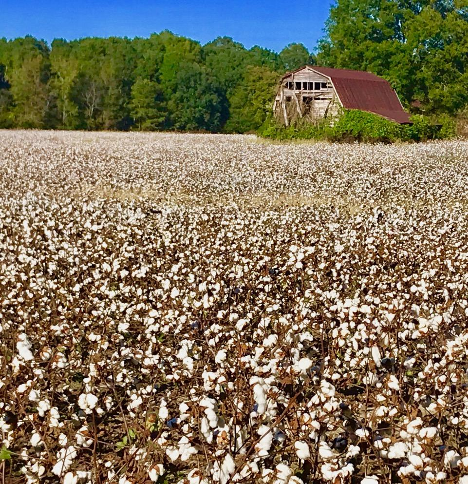 Photo of field of cotton