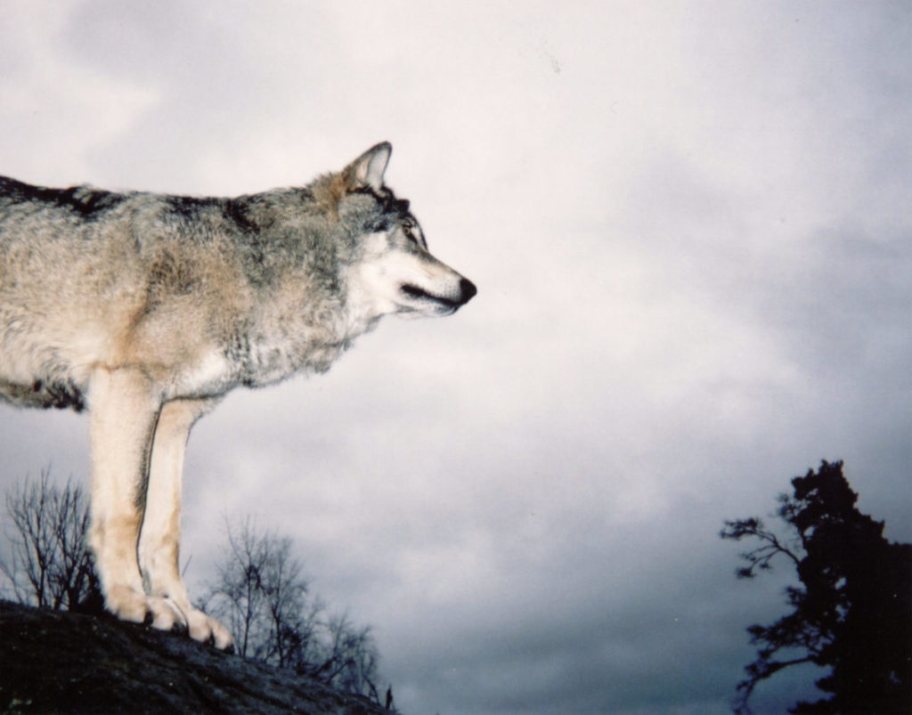 old picture of wolf on cliff