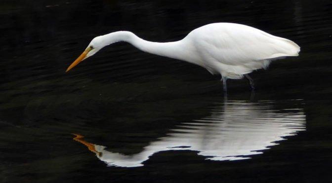 snow white heron reflection in dark water