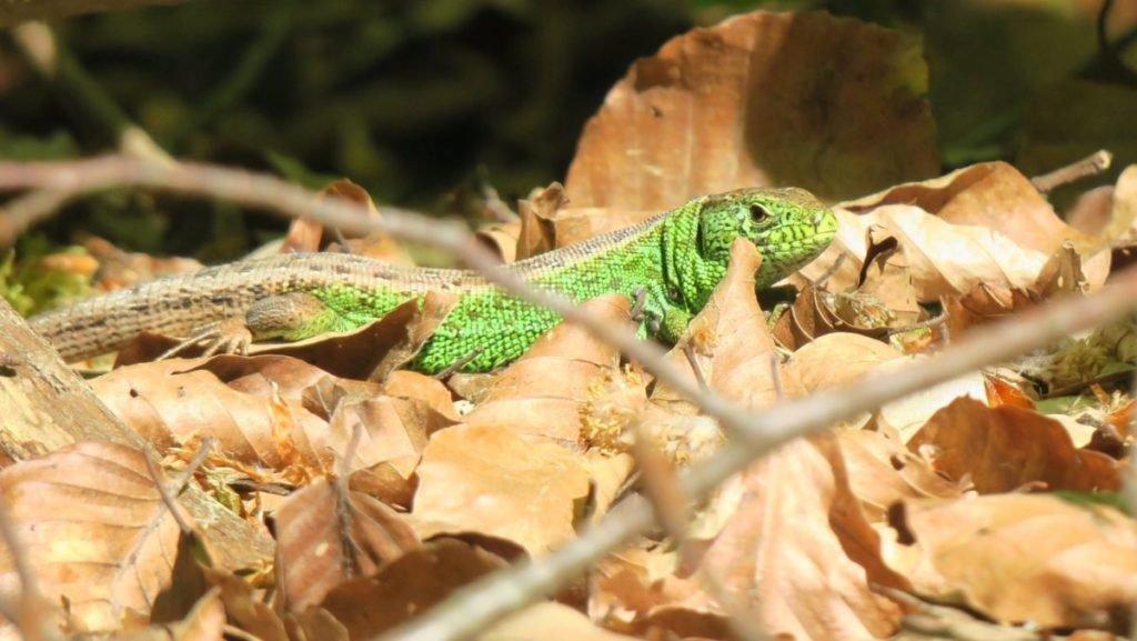 Photo of green lizard in brown leaves