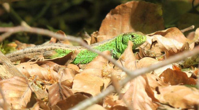Photo of green lizard in brown leaves