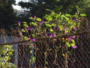 Photo of purple flowers on fence