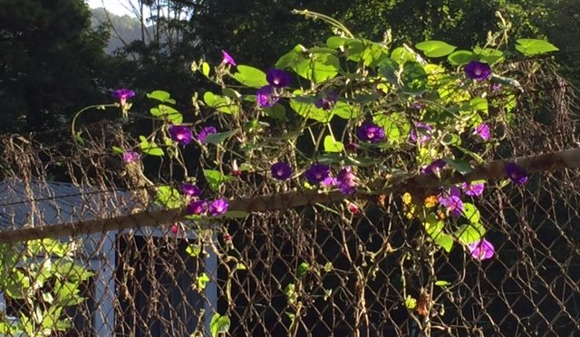 Photo of purple flowers on fence