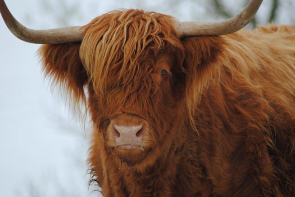 Photo of highland cow
