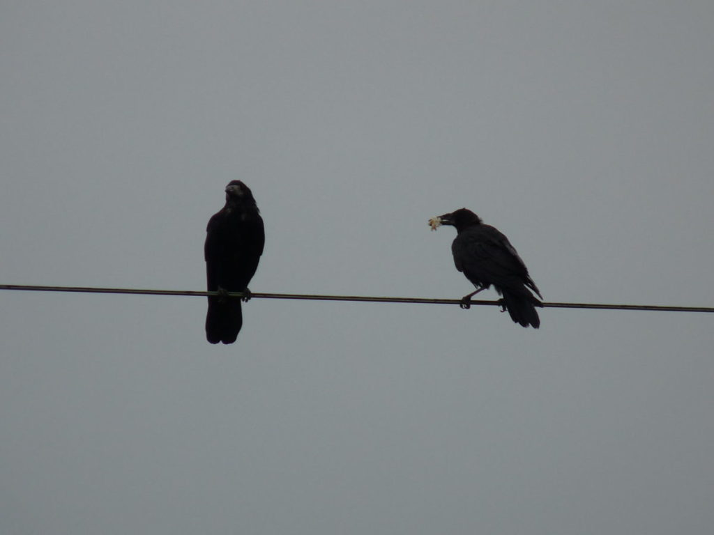 two crows on wire
