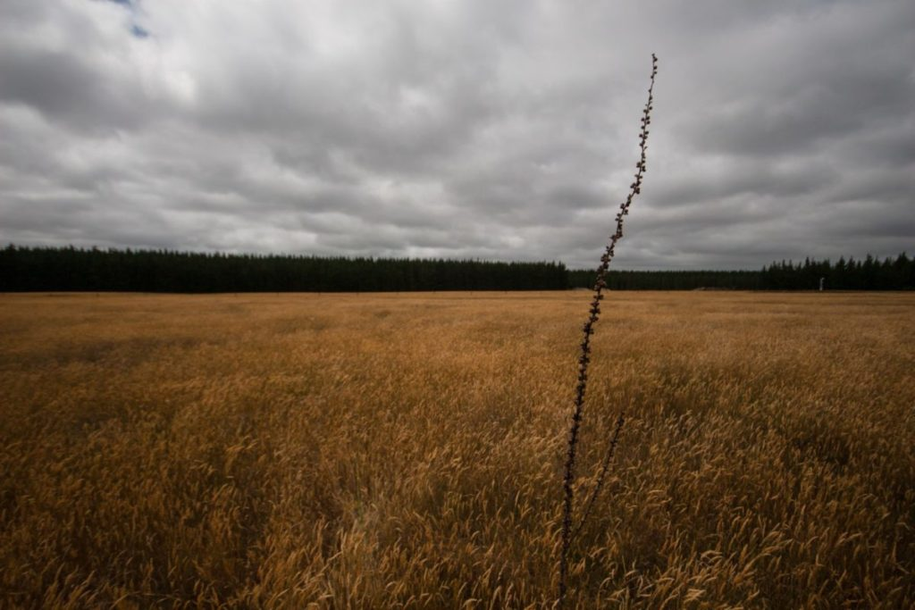 Photo of field with one tall stalk