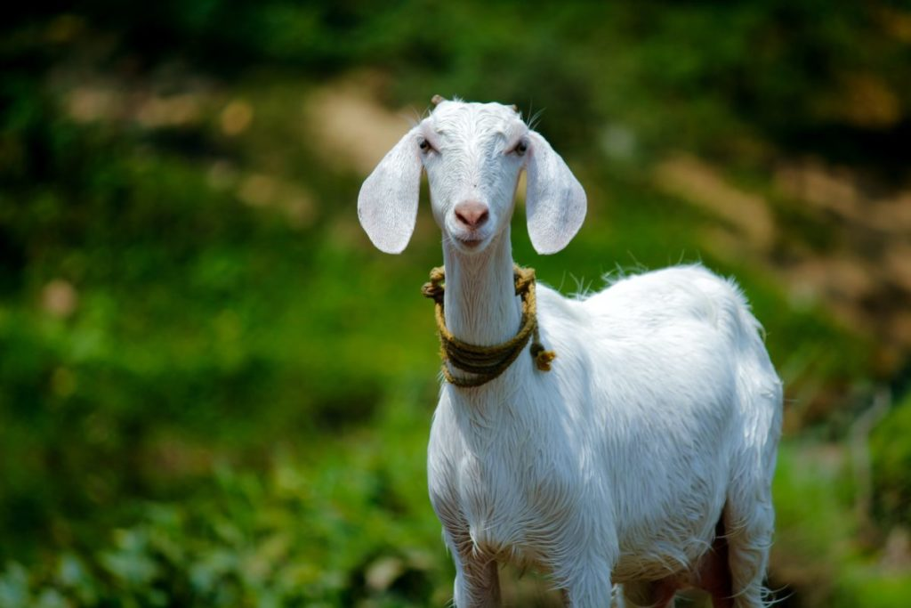Photo of white goat