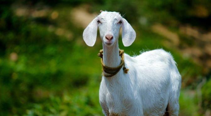 Photo of white goat