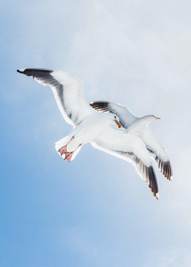 2 seagulls flying