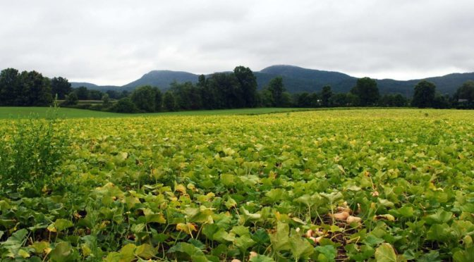 field of squash with mountains