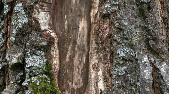 Photo of hole in tree's bark