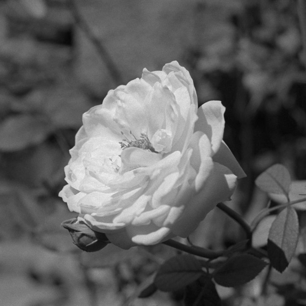 Black and white photo of white rose