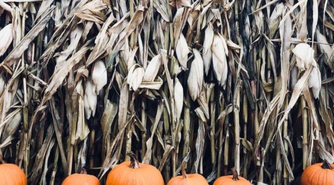 Photo of pumpkins in front of corn stalks