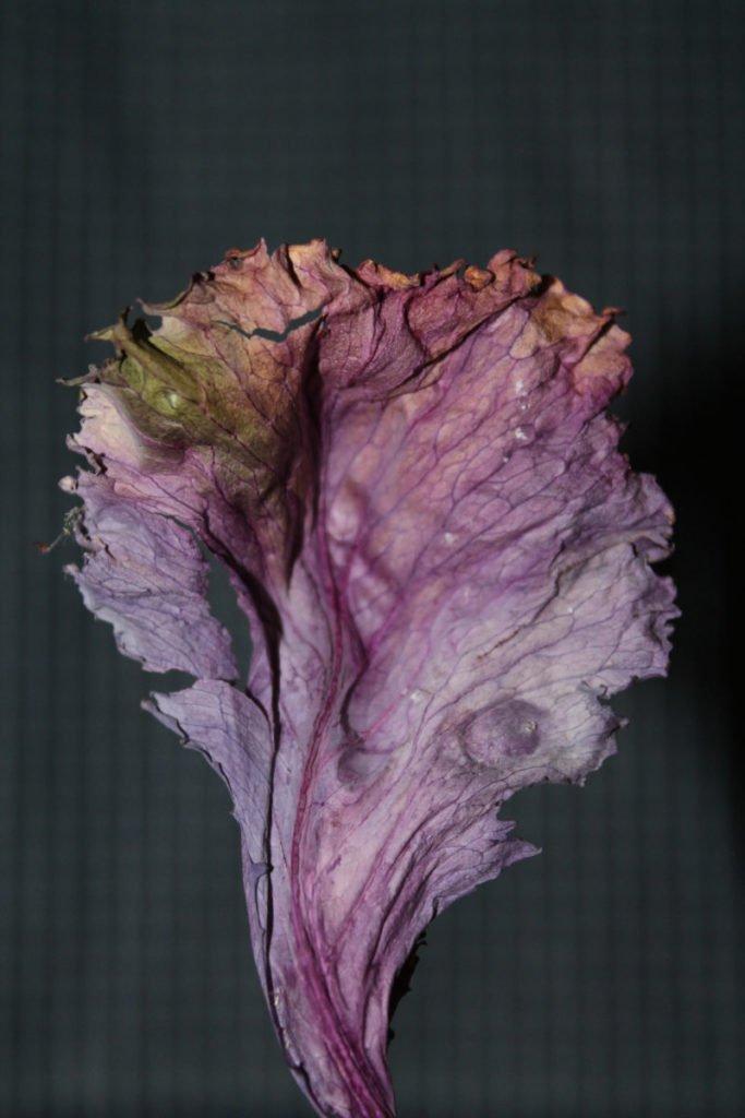 Photo of purple petal