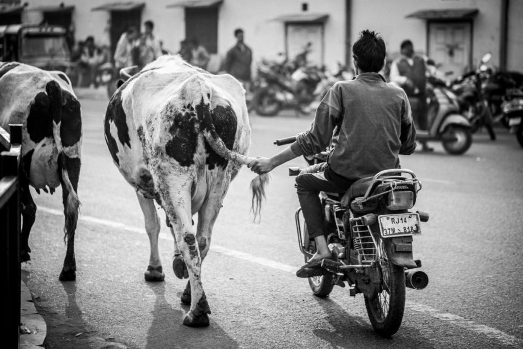 Man riding moped next to cow, holding its tail