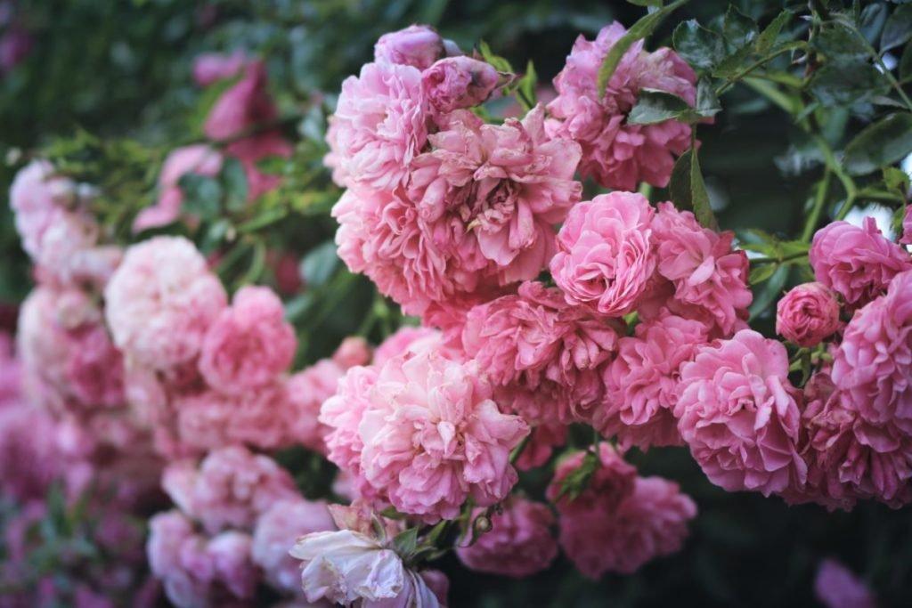 Photo of pink peonies