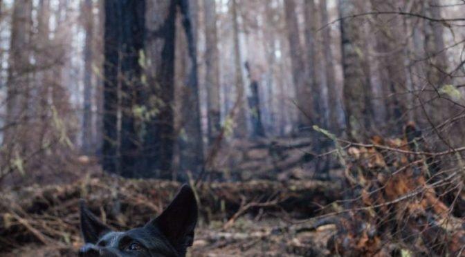 Photo of snarling black dog